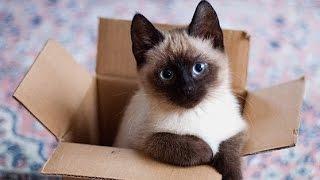 10 малоизвестных фактов о сиамских кошках.(Большинство из нас узнают эту породу кошек безошибочно, т. к особенности окраса ее шерсти не похожи ни на..., 2016-07-01T11:42:33.000Z)