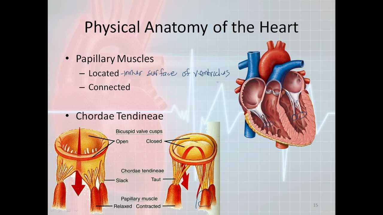 Basic Electrophysiology Part 1 Mechanical Anatomy Of The Heart
