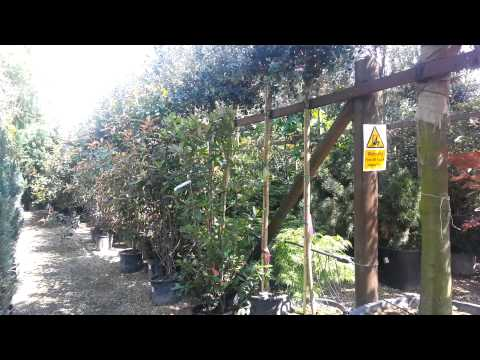 Paramount Plants and Gardens - Screening Trees and Hedging Plants London