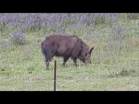 Wild Boar Vs 300 WSM 150 gr Barnes TTSX