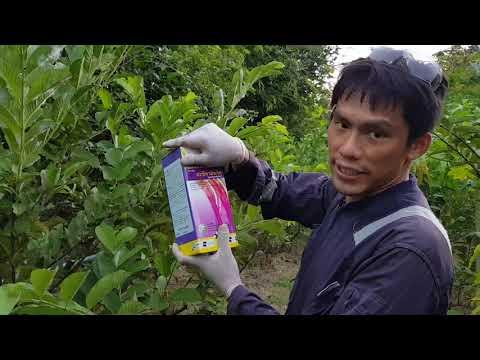 โรคและแมลงในการทำสวนฝรั่ง พร้อมวิธีกำจัด