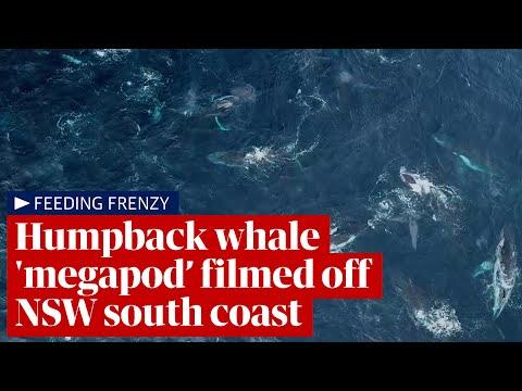 Humpback whale 'megapod' feeding frenzy filmed off Australia's NSW coast