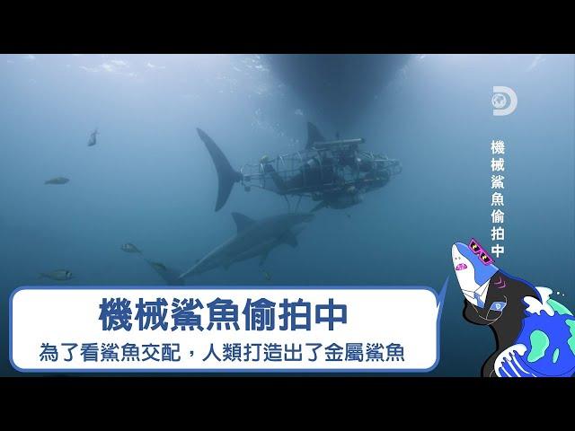 為了看鯊魚交配,科學家打造了一隻機械間諜鯊魚,還讓它學鯊魚的肢體語言......《2021鯊魚週:機械鯊魚偷拍中》