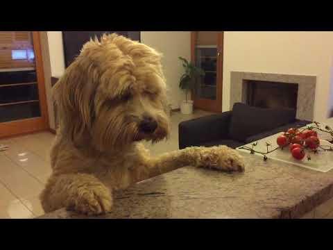 Adorable Tibetan Terrier eating cheese