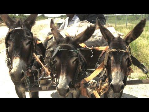 In Afrika sterben Esel für chinesische Wellness-Snacks