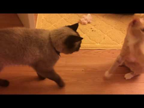 Max and Pippa Play Together! Cat Room Open!