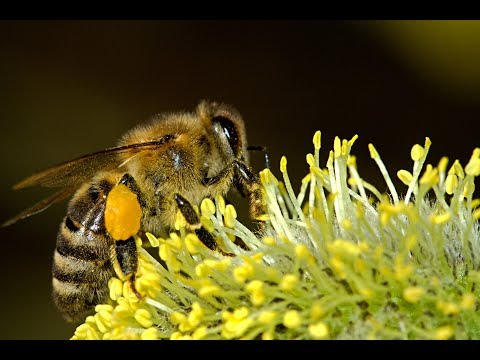 Folk Dancing Music for Bees, Honey Bee Dancing Music, Bumble Bee Music, Bee  Love Dance - Chantmagick