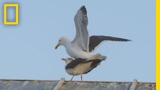 For Seagulls, Mating Is a Balancing Act | National Geographic
