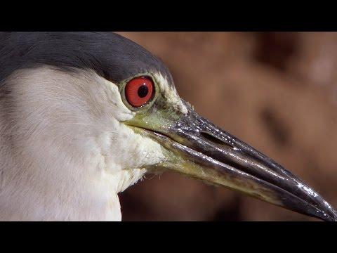 Smart Heron Used Bread To Fish - Super Smart Animals - BBC Earth