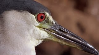 Smart Heron Used Bread To Fish - Super Smart Animals - BBC Earth
