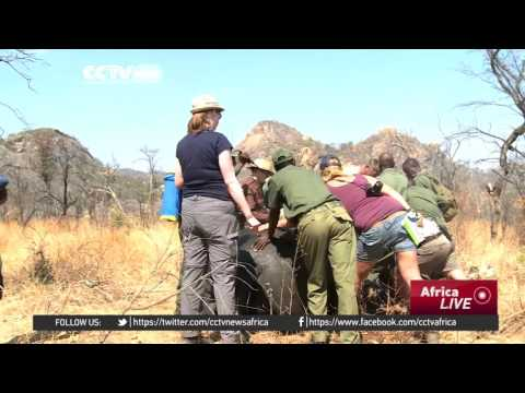 Zimbabwe begins dehorning rhinos in bid to slow down poaching