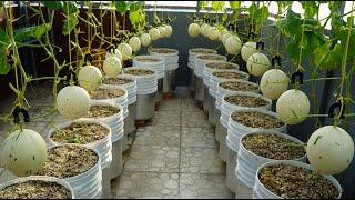Trồng Dưa Lê Bạch Kim Ngọt Lịm Cho Trai Suốt Mùa HèGrowing Snow Leopard Melonbear Fruit All Summer