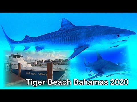 Tiger Beach Bahamas 2020, Bimini, Expedice Jim Abernethy's Scuba Adventures