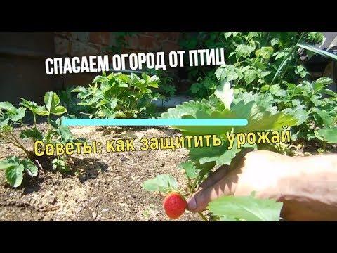 видео: ДРОЗДЫ В ШОКЕ || Спасаем огород от птиц 🐤Огород, Сад, Дача 🍓, Советы по садоводству