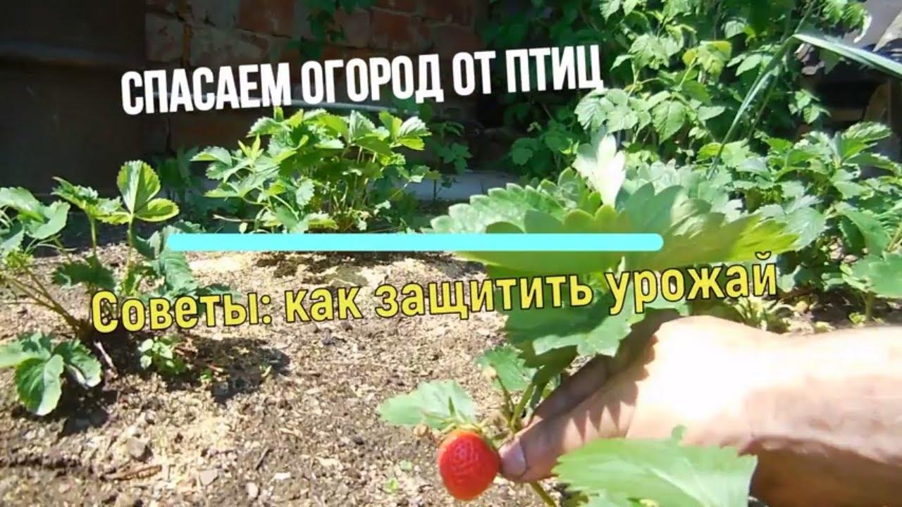 дрозды вредители садов и огородов