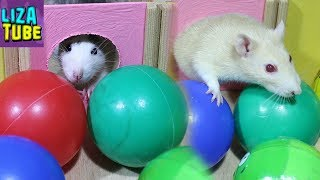 Лабиринт для крысок Новая полоса препятствий Крыски Белочка и Звездочка в лабиринте
