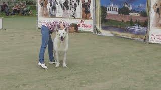 Белая швейцарская овчарка, интернациональная выставка собак в Великом Новгороде ранга CACIB