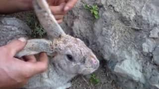 Кролики после миксоматоза ,начало осени.Rabbits after myxomatosis, the beginning of autumn.