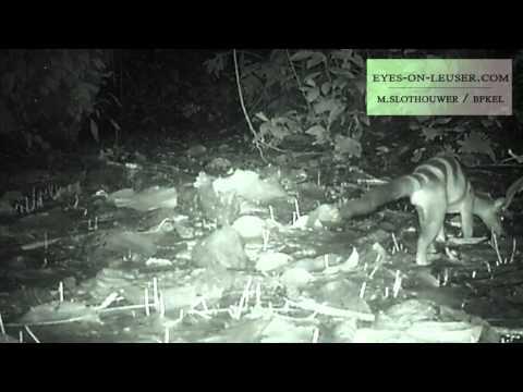 banded civet (eyes on leuser / BPKEL)