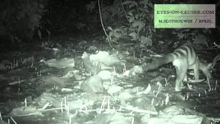 banded civet (eyes on leuser / BPKEL)