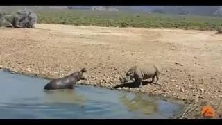 ШОК Бегемоты утопили носорога, помешавшего им у водопоя
