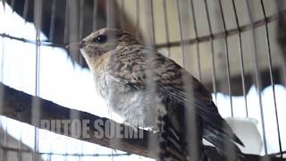Download lagu Suara Burung Kedasih Muda