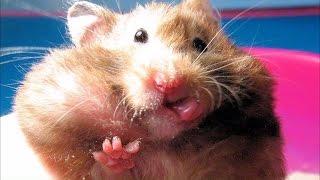 Милые хомячки.Забавные грызуны Смешное видео. Hamster