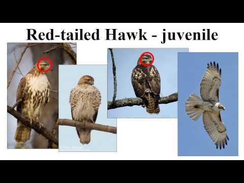 CEAP birds - raptors
