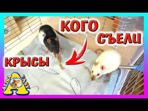 ЧЕМ мы КОРМИМ Крыс? / Уборка в клетке У КРЫС / Крысы не Хомки / rats and hamsters / Alisa Easy Pets