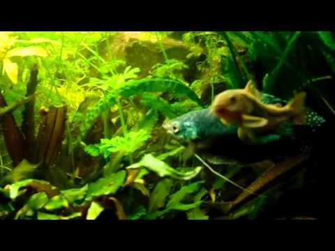 Akvarisztika kezdőknek 3 (Akvárium biológia kontra gyógyszerhasználat).