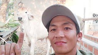 Hướng dẫn nuôi bò - Vì Sao Bò Phối Giống Không Chửa ?