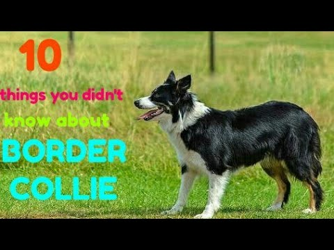 Ten things you didn't know about border collies | Dog zone India
