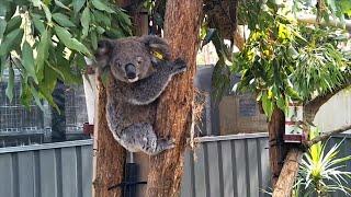 How A Koala 'Ark' Will Help Australia's Wildlife Recover