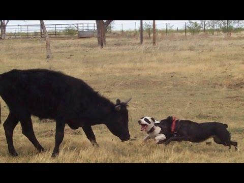 pitbull vs cow attack