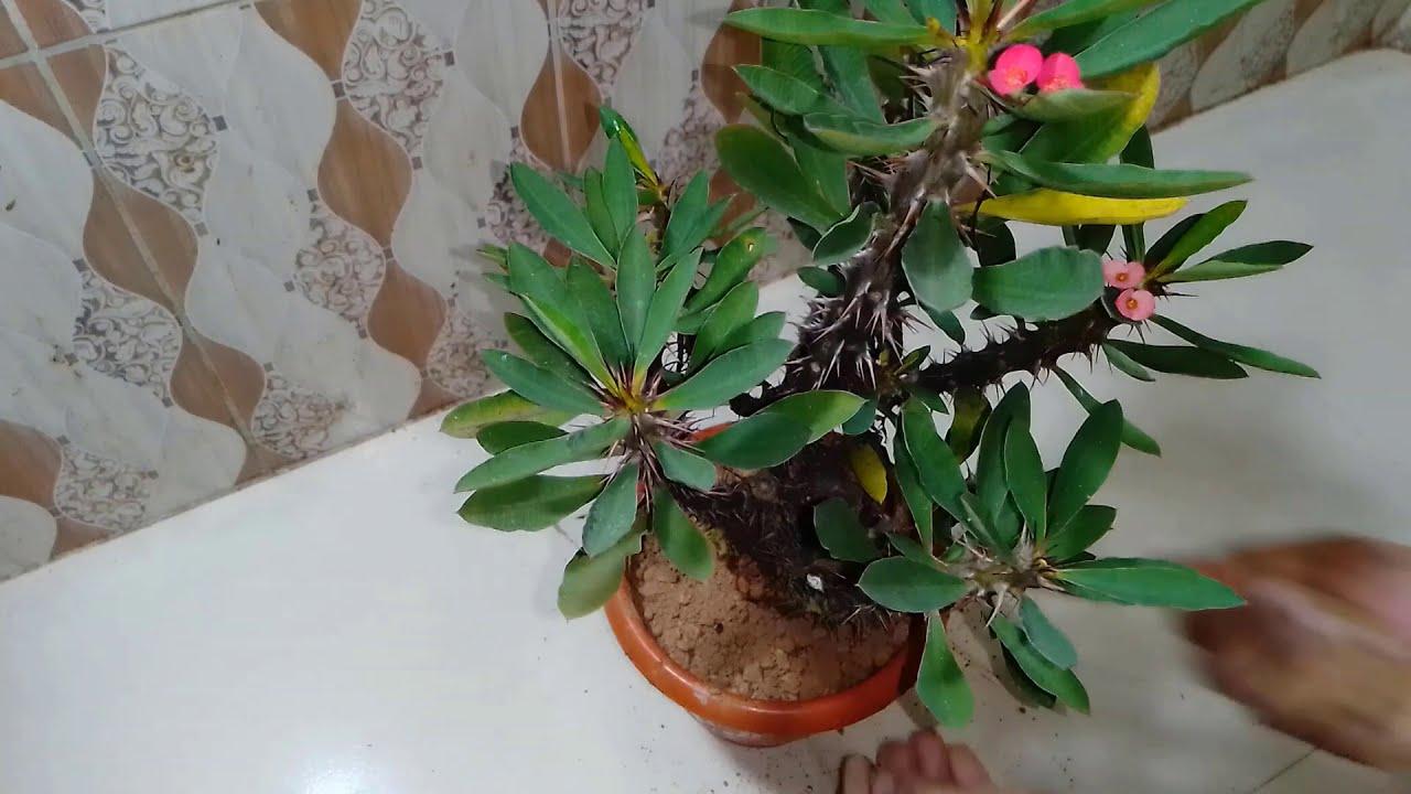 Download How to Plant Crown Of Thorns (Euphorbia) Indoor