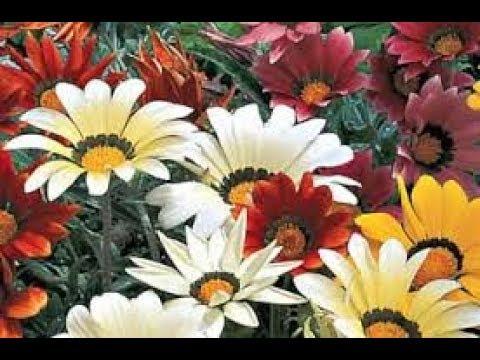 Gazania क स दर फ ल क प ध क उग ए प र ज नक र क स थ Best Flowering Plant Youtube