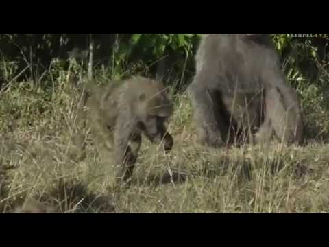 June 02, 2017- Sunrise- Silly Anubis Baboon antics this morning in Kenya