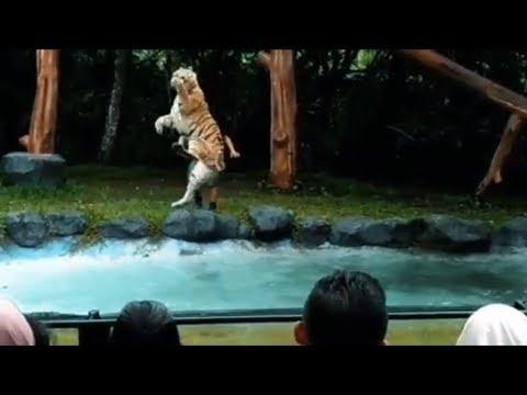 Atraksi Harimau di Taman Safari  Prigen Pasuruan Jawa Timur