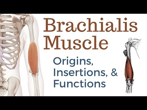 Brachialis Muscle Origin, Insertion and Actions