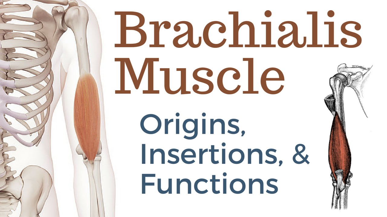 Brachialis Muscle Origin, Insertion and Actions - YouTube