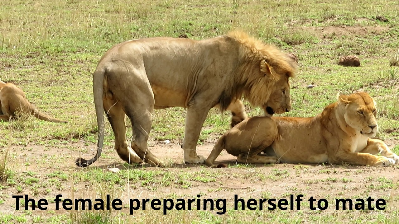 Lions Mating And Another Female Trying To -6016