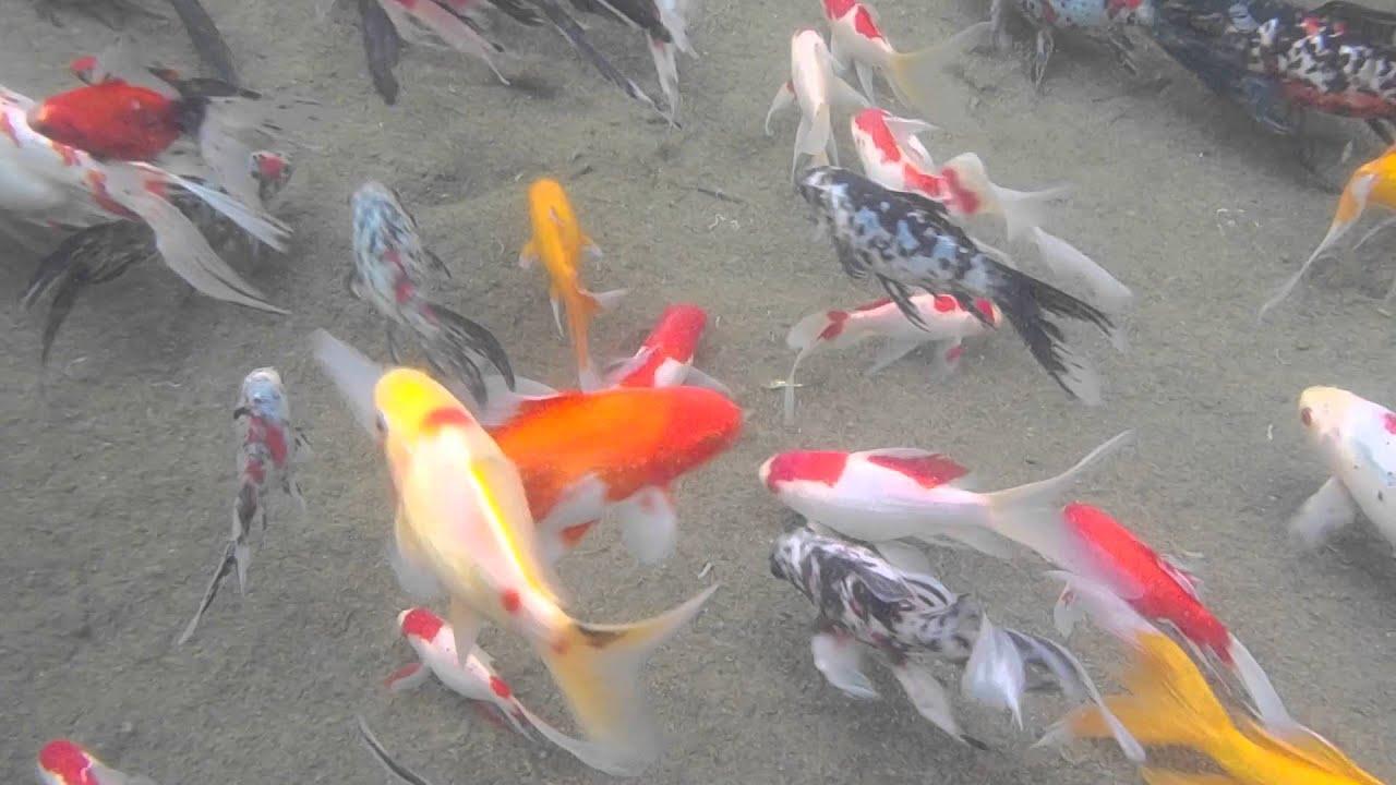 Pesci rossi riproduttori youtube for Dove comprare pesci rossi