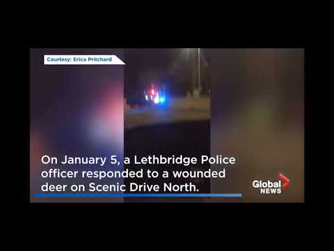 Police officer in Lethbridge Alberta uses vehicle to euthanize deer