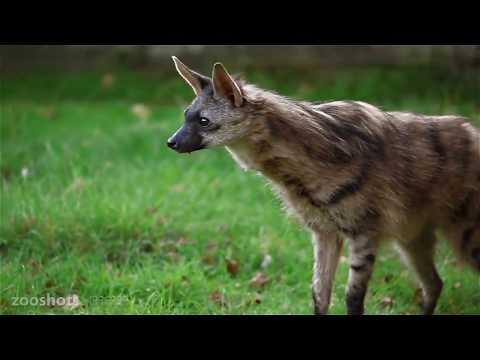 Вопрос: Какое растение в переводе означает земляной волк , что известн?