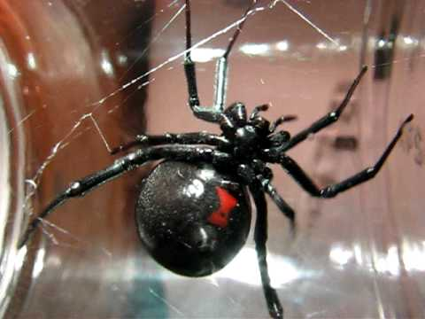 Most Dangerous Spiders in California | Owlcation