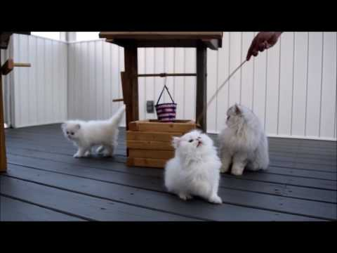 Persian Kittens Playing in Well www.angelical-paw.com