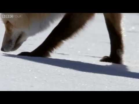 How foxes use magnetic fields to catch prey - The Wonder of Animals: Episode 5 Preview - BBC Four