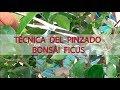 Técnica de pinzado bonsái ficus
