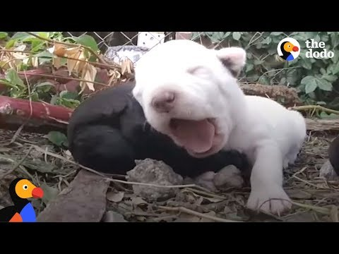 Protective Dog Mom Allows Crying Puppies to be Rescued | The Dodo