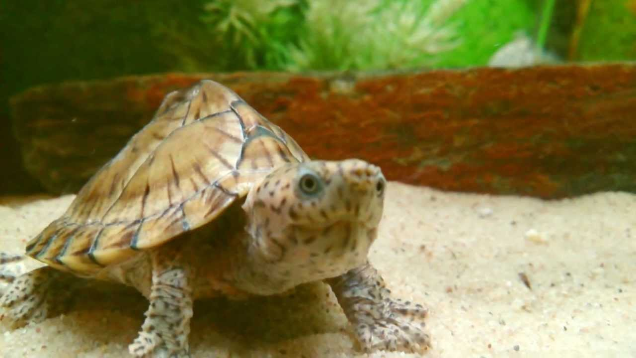 Razorback Musk Turtle Full Grown